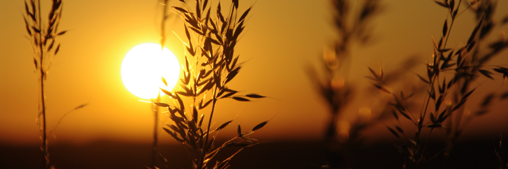 wheat_sunset